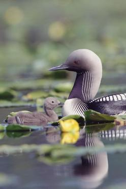 The Pacific Loon or Pacific Diver (Gavia pacifica), is a medium-sized member of the loon, or diver, family. It may be conspecific with Black-throated Diver/Arctic Loon, which it closely resembles. It breeds on deep lakes in the tundra region of Alaska and