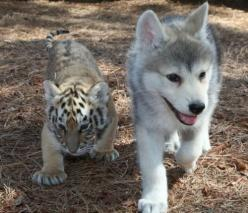 Tiger cub and baby husky buds......so so cute sweeties......