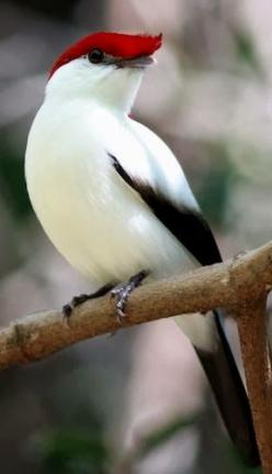 (via New Wonderful Photos: Araripe Manakin, One of the rarest birds in Brazil)