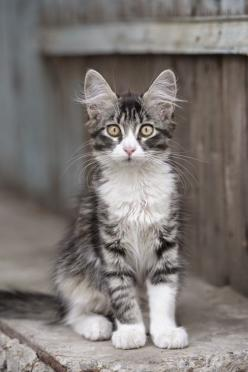 #1  MAINE COON   Top 5 Kids Friendly Cat Breeds: Kitty Cats, Sweet Kitty, Pet, Kitty Kitty, Chat, Fluffy Ear, Kittens Cats, Cats Kittens