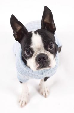 10 Surprising Facts About The Boston Terrier: Terrier Friends, Boston Terrier Facts, Neglected Friendship, Dog Sweaters, Boston S, Boston Terriers Others, Friendship Buying, Boston Terriers Puppies