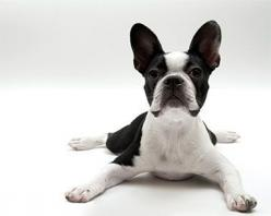 10 Things Only a Boston Terrier Owner Would Understand | WOOFipedia by The American Kennel Club: Boston Terrier Puppy, Pets Animals, Boston Terrier Love, Boston Babies, Boston S, Boston Terrior, Boston Terrier Puppies, Boston Terriers, Terrier Petshirt