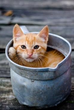 "* * "" I gets all comfortable and nowz yoo decide yoo needz to water yer flowers. Find a different container, will ya? "": Cats Cats, Kitty Cats, Orange Kitties, Ginger Kitten, Kitty Kitty, Orange Cats, Cat S, Cats Kittens"