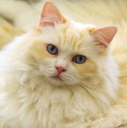 """""""It was not I who was teaching my cat to gather rosebuds, but he who was teaching me."""" --Irving Townsend: Kitty Cats, Cats Meow, Beautiful Cats, Pretty Cat, Kitty Kitty, Pale Yellow, Cats Kittens, White Cat"""