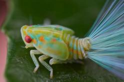 """""""Leafhopper nymph with iridescent tails 1"""" from pbertner's photostream on flickr: Insects Spiders, Leafhopper Nymph, Animals Insects, Iridescent Tail, Insects Bugs, Leaf Hopper, Optic Tail"""