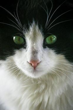 """Nature breaks through the eyes of a cat."" --Irish Proverb: Beautiful Cat, Kitty Cat, Beautiful Green, Green Eyes, Cats Kittens, White Cat, Animal"