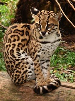 """(""""THE ENDANGERED MARGAY IS A SMALL SPOTTED CAT, (UP TO 9lbs), THAT  ROAMS THE RAINFOREST FROM MEXICO TO ARGETINA. A SKILLFUL CLIMBER, IT IS ONE OF ONLY TWO CAT SPECIES WITH THE ANKLE FLEXIBILITY NECESSARY TO CLIMB HEAD-FIRST DOWN TREES.: Beautiful Cat"""