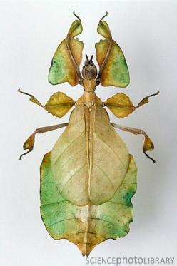"""Walking Leaf"" insect ~ from the Walking Stick family of insects.: Insects Walk, Beetles Insect, Butterflies Insects, Insects Bugs Creatures, Insecten Insects, Insects 2015, Insects Ets"
