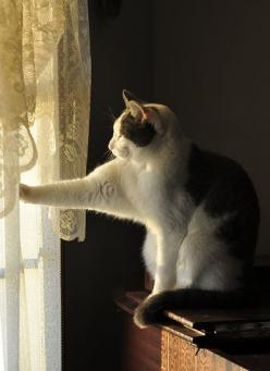 """What A Nosy Neighbor!  Looking Out From Behind The Curtains!"": Toby Reaches, Cats Meow, Kitty Cats, Kitty Kitty, Window Cats, Cats Kittens, Cats In Windows, Animal"