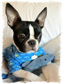 """""""What large ears you have"""".... """"the better to hear the treat bag crinkle with my dear!"""": Animal Pictures, Baby Shark, Boston Babies, Terrier Beautiful, Bostonterriers Puppies, Boston Terrier Pajamas, Boston S, Boston Terriers"""
