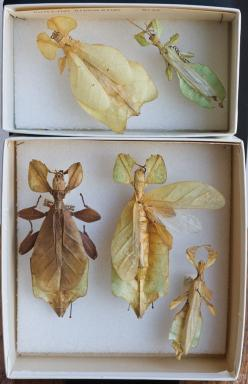 'Leaf insects' (a lineage of tropical walking sticks). These remarkable Phasmida are found in rainforest canopes of tropical Asia. Included in this group are many newly described specimens from the Philippines. The others are from New Guinea and t