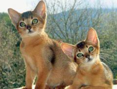 Abyssinian cat :): Cat Kittens, Abyssinian Kittens, Kitty Cats, Cats Abyssinian, Abyssinian Kitties, Abyssinian Kitty, Cat Abyssinian, Abyssinian Cats, Cats Kittens