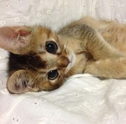 Abyssinian kitten. I want one so bad, but I've heard that they're high maintenance not to mention that high price tag. - Spoil your kitty at www.coolcattreehouse.com: Kitty Cats, Sweet Kitty, Abyssinian Kitten, Cutest Kitten, Abyssinian Cats, Cats
