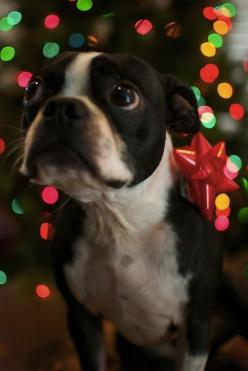 Adorable Christmas gift...My little Boston looks EXACTLY like this little darling!: Boston Terrier Puppy, Boston Terrier Dog, Christmas Dog Pictures, Boston Terrier Christmas, Adorable Pictures, Boston Terriers, Boston Terrier Puppies, Christmas Gift