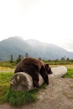 Adult Brown bear rests on a log at the Alaska Wildlife Conservation Center:: Bear Alaskan, Bear Rest, Wild Animals, Bears Real, Alaska Wildlife, Alaskan Wildlife, Wildlife Conservation, Brown Bears