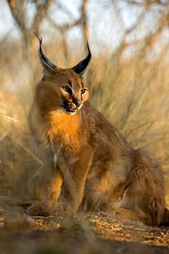 Africa | Caracal in sunset light, Namibia | © Jim Zuckerman: African Caracal, Light Namibia, Cats Wild, Big Cats, Beautiful Cats, Caracal Namibia, African Golden Cat, Wild Cats, Africa Caracal