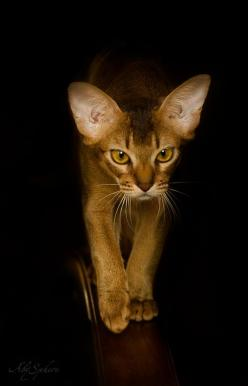 All sizes | Night hunter (abyssinian cat) | Flickr - Photo Sharing!: Cats Cats, Abyssinian Hunter, Night Hunter, Flickr Photo, Hunter Abyssinian, Ears Abyssinian, Cat S, Abyssinian Cats, De Chat