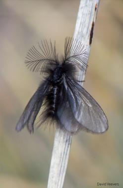 Amazing antenna system on moths inspired the RADAR and RADIO technology used today to get better audio reception! #DdO:) - https://www.pinterest.com/DianaDeeOsborne/tiny-miracles/ - TINY MIRACLES all around us! Pinned via Jill Rdmann.: Amazing Insects, Mo