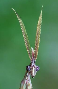 At first I thought this was photoshopped--like maybe somebody stuck moth antennae on a mantis head-- but it's real. This is a close up of the cone head mantis.: Bugs And Insects Photos, Mantis Empusa, Animals Insects, Insects Bugs, Strange Animal, Con