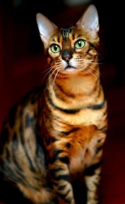 Average Size and Weight of Bengal Cat Click the picture to read   ...........click here to find out more     http://googydog.com: Cats Cats, Bengal Cats, Kitty Cat, Beautiful Cats, Pretty Cat, Cat S, Cat Breeds, Domestic Cat