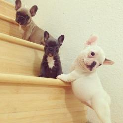 Awwwwww <3 a Frenchie is the next puppy I'm getting!! Oh they are just so adorable.: Cute Puppies, French Bulldogs, Puppy, Box, French Bulldog Puppies, French Bull Dogs, Frenchie Pup, Animal