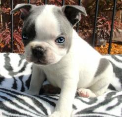 Baby Boston Terrier... love the color and eyes!!!: Baby Blue, Boston Terrier Puppy, Eyes Dogs, Bostonterriers Puppies, Cute Boston Terrier Puppies, Baby Boston Terriers, Dogs Pets, Boston Terriers Puppy