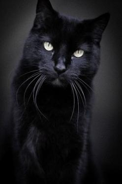 Beautiful black cat . #Catpersonalities #blackcat #catstories #CatMythology- More black cat at  - Catsincare.com: Beautiful Cat, Kitty Cat, Black Cats, Beautiful Black, Cats Black, Haired Beautiful, Blackcat