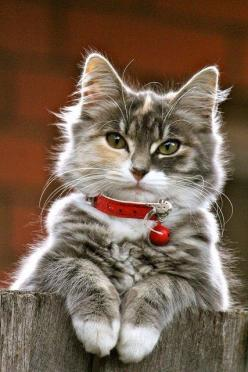 Beautiful cat !: Kitty Cats, Beautiful Cats, Pretty Cat, Kitty Kitty, Christmas Cat, Cat S, Pretty Kitty, Cats Kittens, Cat Lady