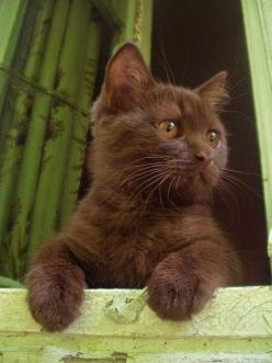 Beautiful Havana brown cat: Cats Meow, Dogs And Cats, Cats And Kittens, Cat S, Cat Breeds, Chocolate Kitty, Brown Kitty