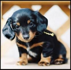 Black and Tan Dachshund puppy.: Cute Puppies, Dachshund Puppies, Baby Animal, Adorable Animal