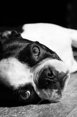 Boston Terrier, Nicole Slater Photography: Boston Terrier S, Dogs Animal, Bostons Terriers, Boston S, Boston Terrior, Animal Boston, Boston Dogs, Dogs Boston Terriers