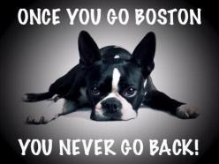 Boston Terrier Owners, Repin if you Agree with this! www.bterrier.com: Dogs Bostons, Boston Babies, Boston Terrier Facts, Boston S, Boston Terrior, Boston Terriers