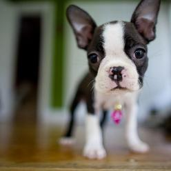 Boston terrier: Pet, Baby Boston Terriers, Boston S, Boston Terrier Puppies, Animal