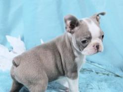 Boston Terrier Puppies For Sale: AKC Blue & Champagne Boston Terriers: Blue Boston Terrier Puppies, Terriers Boston, Blue Champagne, Dogs For Sale, Blue Boston Terrier Puppy, Bostons Frenchies, Boston Terrierfor, Blue Boston Terriers, Champagne Boston
