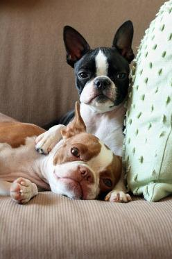 boston terriers, my children. Cali and Prince(Little man) Love to pieces. Tux and red brindle.: Boston Terrier S, Brown Boston Terrier, Boston Terrier Love, Best Friends, Boston Terriers, Adorable Bostons, Cute Dogs, Animal