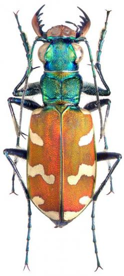 Carabidae: Cicindela nitida.Cicindela nitida SE Primorskiy reg., Lazo nature reserve Perekatnaya river, 20.06.97 leg. Yu. Sundukov Male Body length 17 mm: Bugs And Insects, Beetles Insect, Art Tattoo, Beautiful Bugs, Insects Bugs, Bugs Insects