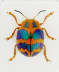 Catalog #5152: Bugs-Card-Beetle-front (click to close): Bugs Beetles, Bugs Card, Beautiful Bugs, Bugs And Beetles, Colorful Bugs, Bugs Beetel, Colorful Beetle, 5152 Bugs