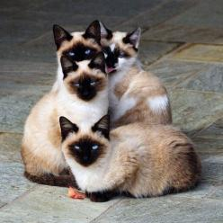 #CATS... We are Siamese if you please.  We are Siamese if you don't please......(what comes after that?): Cats Cats, Beautiful Cat, Kitty Cats, Siamese Cats, Kitty Kitty, Blue Eyes, Cat S, Cats Kittens, Cat Lady