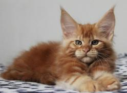 Ch. Kashmir of Vingilot. 8 weeks old. Beautiful Maine Coon baby.: Animal Cat Pets, Kitty Cats, Cat Cat, Coon Cats, Maine Coon Kitten, Adorable Cats