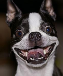 Christmas Morning | Flickr - Photo Sharing!: Happy Boston, Animals Smiling, Happy Face, Boston Terriers, Little Dogs, Happy Doggie