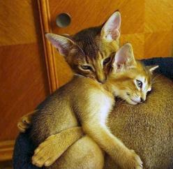 Cookie and Pumpkin...beautiful Abyssinian siblings.: Beautiful Abyssinian, Affectionate Feline, Kitty Hugs, Crazy Cat, Cat S, Abyssinian Cats, Cats Kittens, Animal, Cat Lady