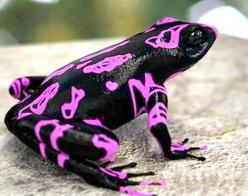 Costa Rican Variable Harlequin Toad: God S, Clown Frog, Harlequin Toad, Variable Harlequin, Costa Rican, Rican Variable, Amazing Animal, Harlequin Frog