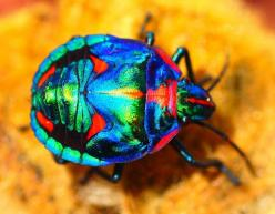 Cotton Harlequin Bug spotted in New South Wales, Australia: Hibiscus Harlequin, Insects Spiders, Beautiful Bugs, Animals Insects, Insects Bugs, Harlequin Bug, Cotton Harlequin, Hibiscus Plant, Bugs Insects