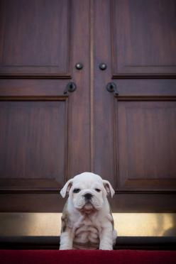 Cutie: Englishbulldog, English Bulldog Puppies, English Bulldogs, Baby Bulldogs, Marine Corps, Guard Dog, Animal, Bull Dogs