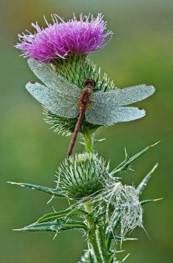 Dewy Red Dragonfly on Thistle |  Dean A Pennala: Blue Dragonfly, Butterflies Dragonflies, Dragonflies Butterflies, Eeyore S Thistles, Covered Dragonfly, Dragonflies Dragonfly