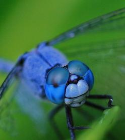 Dragonfly - macro dragonfly by Tanya Puntti (SLR Photography Guide), via Flickr: Blue Dragonfly, Dragon Flies, Slr Photography, Blue Green, Photography Guide, Macro Dragonfly, Macro Photo