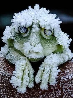 ~~Each September, the wood frogs of Alaska do a very strange thing: They freeze.They do not freeze totally solid, but they do freeze mostly solid for seven months, then they thaw and hop away | LA Times~~: Weird Animal, Frog Freeze, Heart Stop, Cold Winte
