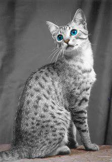 Egyptian Mau is as old as Egyptian History and perfectly reflects the Egyptian beauty as well.The cat originated thousands of years ago carries an important position among the hearts of cat owners and one of the biggest reason is them being so affectionat