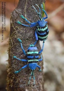 Eupholus magnificus is a species of beetles belonging to the family Curculionidae. (Photo by Rob de Vos): Papua Coleoptera, Bugs And Insects Photos, Insects Spiders, Animals Insects, Papua Insect, Insects Bugs, Bug S