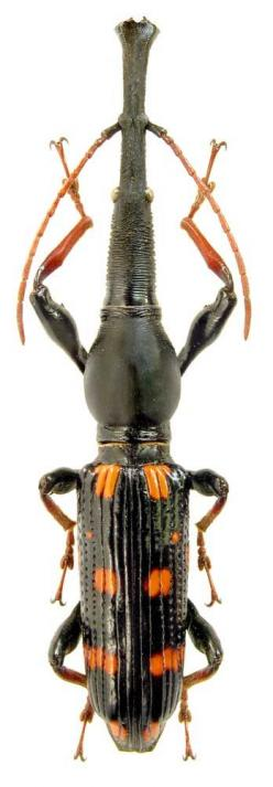 Eutrachelus temmincki, from Indonesia, is classified as a Brentidae. Brentidae is a cosmopolitan family of primarily xylophagous beetles also known as straight-snouted weevils.: Beetles Insect, Temmincki Beetle, Insect Eutrachelus, Xylophagous Beetles, In